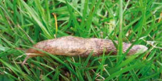 a grey field slug