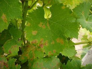 vine leaves with symptoms of downy mildew