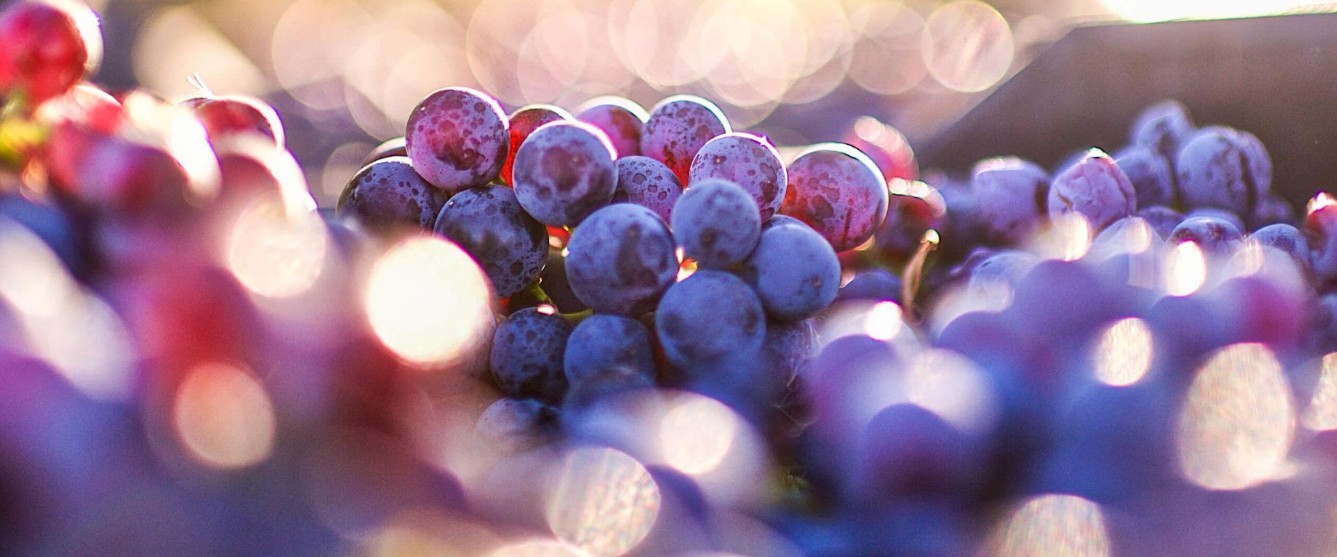 vine grapes in sunlight
